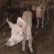 35 Schweine qualvoll verhungert: 550 Euro Strafe