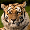 Drama im Kölner Zoo: Tiger tötet Pflegerin - Zoodirektor erschießt Tiger
