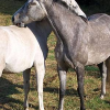 Missbrauchte Stuten in Freiburg – Treibt ein Pferderipper sein Unwesen?