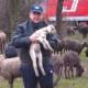 Tierrettung am Ostersonntag: Feuerwehr rettet Schafe vor Hochwasser