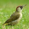 Grünspecht ist Vogel des Jahres 2014