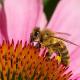 Blumen aus Bau- und Gartenmärkten gefährden Bienen