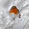 BirdLife: Aufruf zur großen Wintervogelzählung vom 3.- 6. Jänner 2015