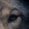 Die Beziehung zwischen Mensch und Wolf: Der von Almo Nature produzierte Kurzfilm