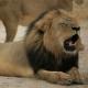 Cecil der Löwe von schießgeilen US Zahnarzt getötet
