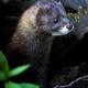 Nerz vom Aussterben bedroht: Zuchtmanagement soll Wiederansiedelung ermöglichen