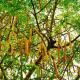 Moringa oleifera – Baum der Unsterblichkeit