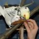 Schreckmauser: Gestresste Vögel lassen Federn