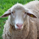 Merinowolle boomt – Leider oft auf Kosten der Schafe