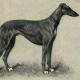 Was den Windhund so besonders macht