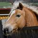 Stammzelltherapie bei Pferden auf neuen Wegen