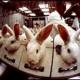 Tierversuche in der Schweiz: Statistik 2008