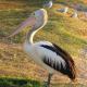 LIVE: Pelikan attackiert TV Wetterfrosch