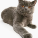 Katzenrassen: Britisch Kurzhaar (BKH)
