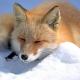 Fuchs schießt Jäger ins Bein