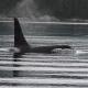 Forscher analysieren das Rufverhalten bei Schwertwalen