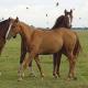 Forscher weisen nach: Pferde erkennen ihre Konkurrenten am Kotgeruch