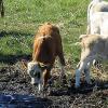 Kuh-riose Geburt in der Schweiz: Kalb mit 6 Beinen