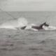 Spendengelder für Delfinrettung nach Fukushima-Katastrophe für Walfang missbraucht?