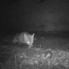Überwachungskamera entlarvt Fuchs als Dieb von 32 Boule Spielkugeln