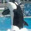 Killer-Wal attackiert Trainer bei Seaworld-Show