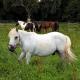 Pferderipper attackiert trächtige Stute – Polizei nimmt keine Anzeige auf