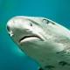 Lebender Hai fällt auf Golfplatz