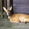 Rehbock von Jäger brutal zu Tode gequält
