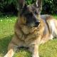 Dänisches Hundegesetz: Polizei konfisziert Assistenzhund einer 64jährigen Witwe