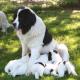 Welpenaufzucht – Tipps für den Hundezüchter