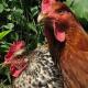 Unfassbar: Tierquäler verbrennen Hühner und Hahn