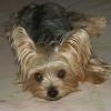 Yorkshire Terrier frisst Frauchen halb auf
