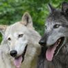 Mythos vom toleranten Hund und aggressiven Wolf widerlegt