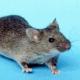 Tricktraining: Wenn Mäuse Fußball spielen