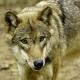 Wölfe und Weidetierhaltung