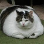 Katze dick