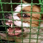 Kampfhund hinter Gitter