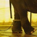 Elefant in Gefangenschaft -