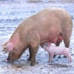 Schweine - Foto: Scott Bauer