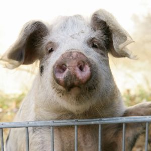 Schwein - Pig