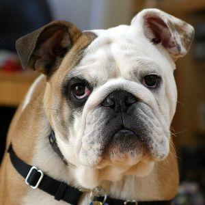 English Bulldog - Englische Bulldogge / Foto: Michael Lazarev